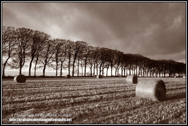 beech trees and hay bales